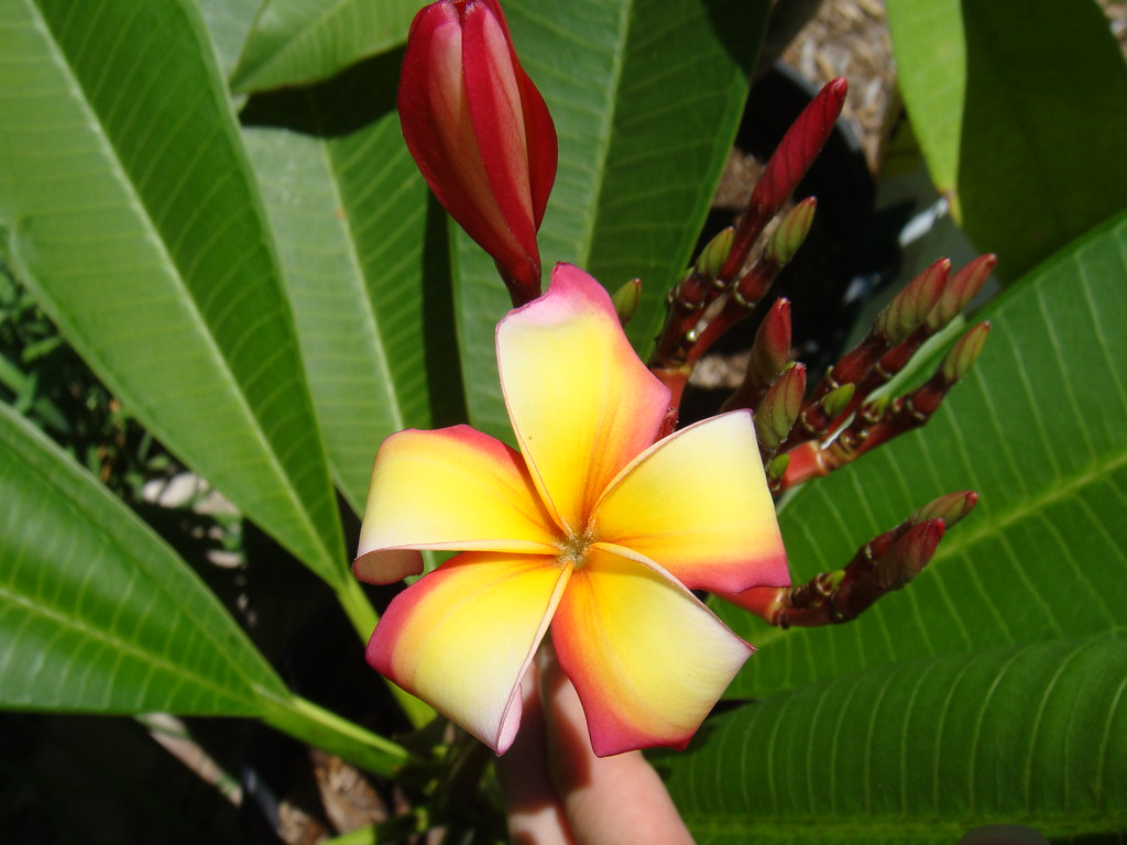 1st Pu'u bloom