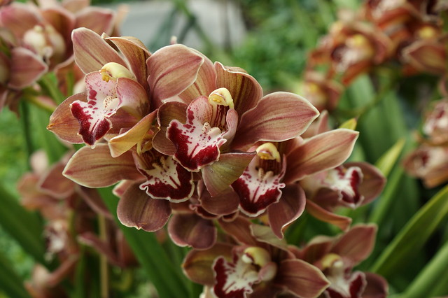 Cymbidium Ruatoria x Sensational Vintage 'Purple Haze' (2)