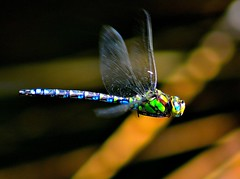 [Free Images] Animals 2, Insects, Dragonfly ID:201208200400