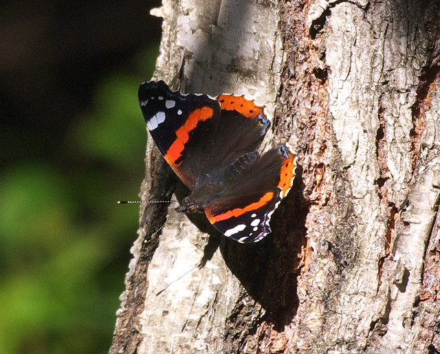 DSC_4464 Red Admiral butterfly