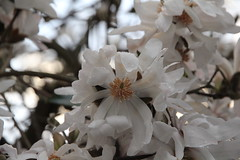 White Magnolia2