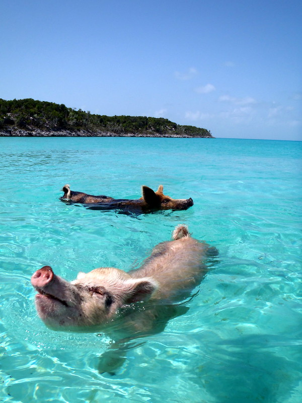 08.2012 Vorobek Bahamas - swimming pigs