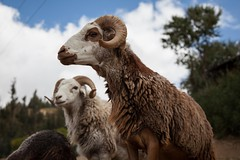 Awasi sheep breed