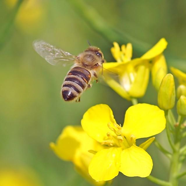 Una abeja vuela a una flor violación.