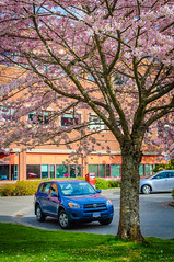 uvic cherry trees