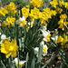 Daffodils Yelllow and White