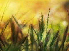 Gräser im Abendlicht
