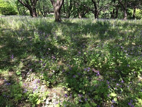 昭和の日の昭和記念公園 ムラサキハナナ