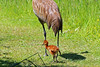 Sandhill Crane Colt 16-0529-2766 by digitalmarbles