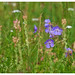 Small photo of A flowery meadow