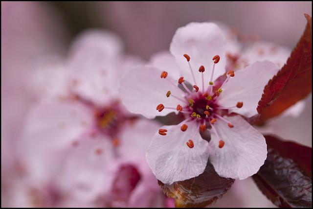 Sakura time in Vancouver