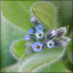 Tiny Blue Flower... Strict Forget-me-not (Myosotis stricta)