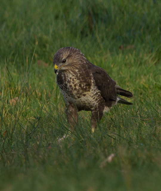 common buzzard on ground 3