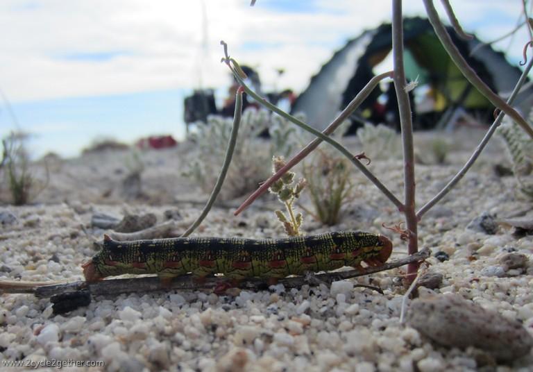 Caterpillar & Tent