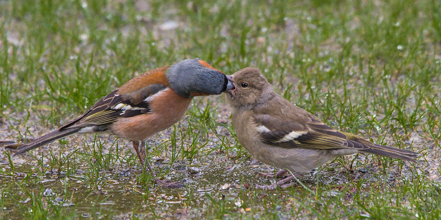 Chaffinch (Fringilla coelebs) feeding offspring-6189