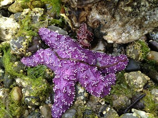 purplish starfish