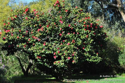 Camelia Bush - Tree