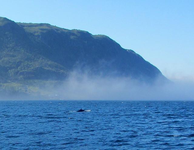 Whale on Bonne Bay