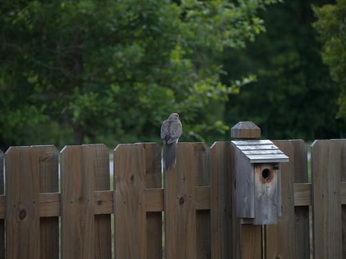 bird unitedstates southcarolina mourningdove goosecreek zenaidamacroura