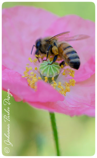 Pink-Poppy-Bee