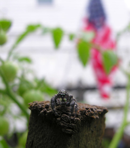 Patriotic jumping spider