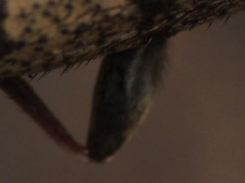 トゲバカミキリ 足