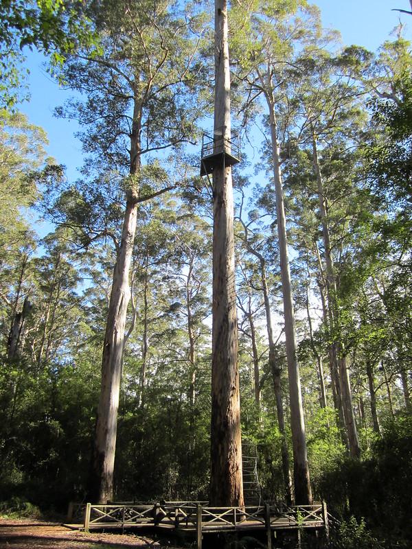 Dave Evans tree, near Pemberton