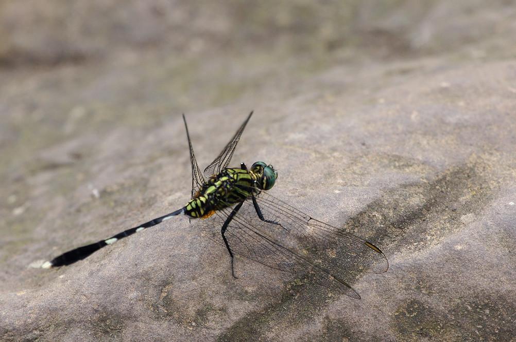 25-杜松蜻蜓