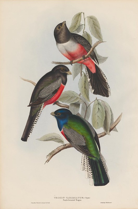 T1830s ornithological lithograph by John Gould