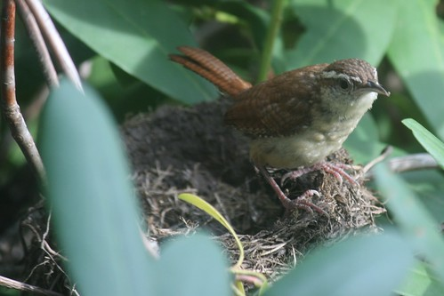 carolina wren checks out old robin nest
