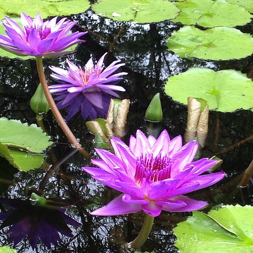 Day 11 - Purple #photoadayaug #Waterlilies @BBGardens #nofilter #flowers