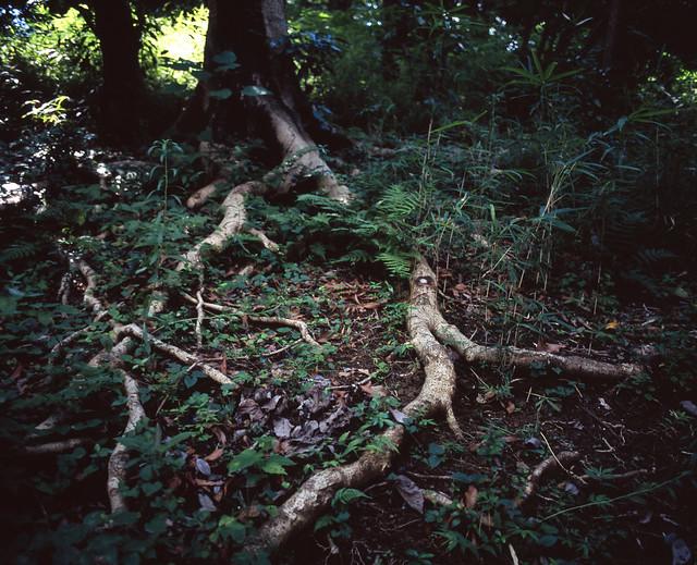 木の根の広がり