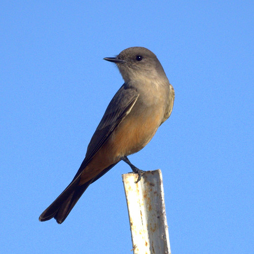 Say's Phoebe by Mike's Birds