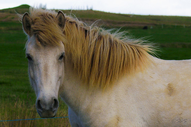 cream colored icelandic pony flickr photo sharing. Black Bedroom Furniture Sets. Home Design Ideas