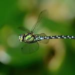 Blaugrüne Mosaikjungfer (Aeshna cyanea) 5024
