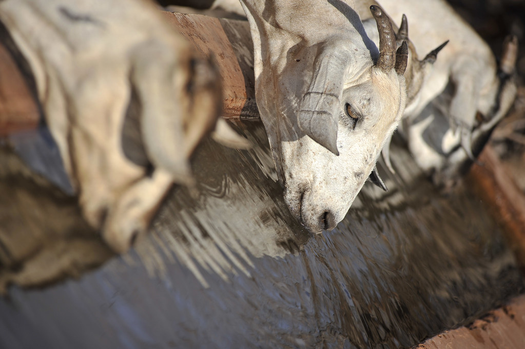 Goats at a water point in Wajir, northern Kenya