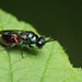 A rather dark jewel wasp. Pseudomalus auratus by Lord V