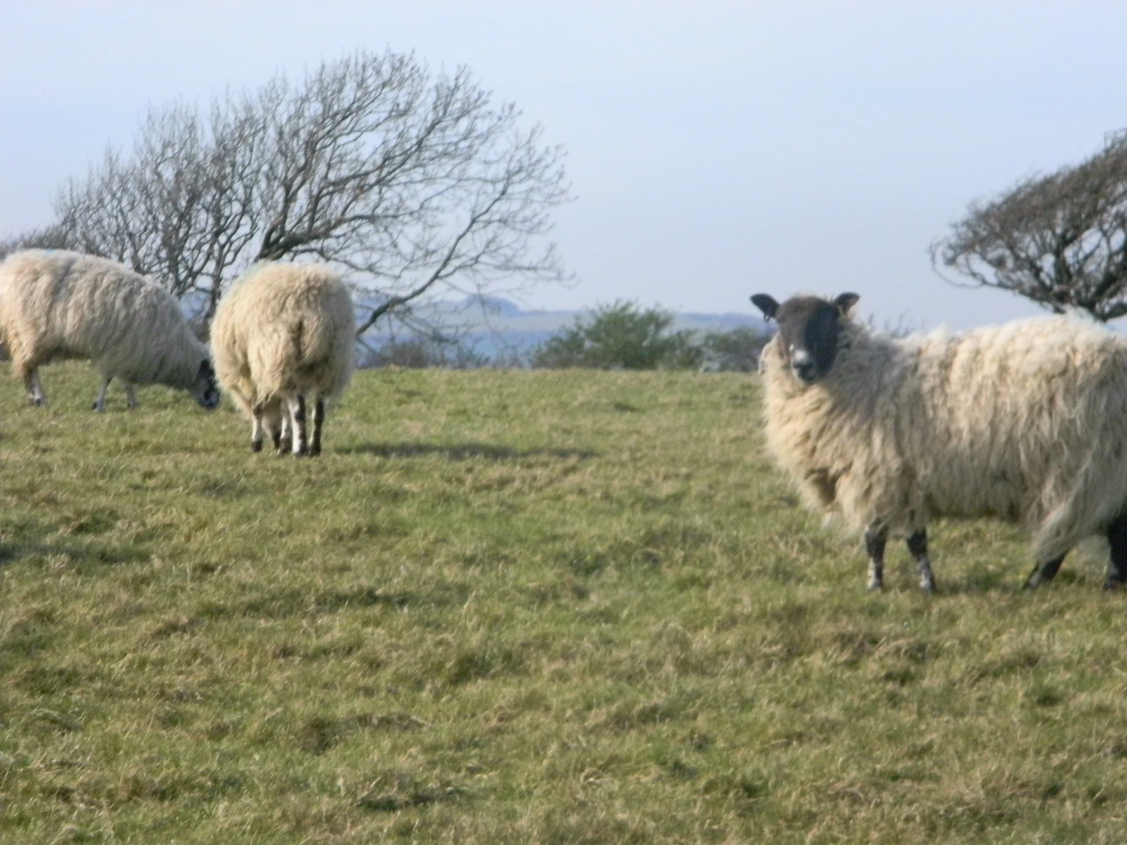 Sheep Lewes Circular via West Firle