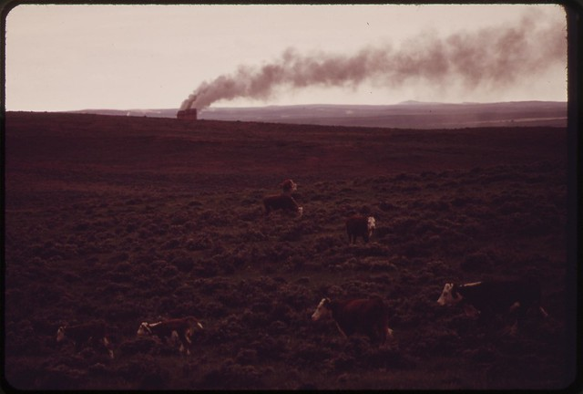 DOCUMERICA: Cattle graze on ranch lands near the Dave Johnston Power Plant, 06/1973 by Boyd Norton.