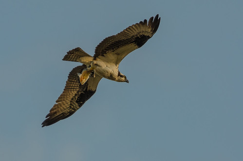 Osprey and Fish 5287-.jpg
