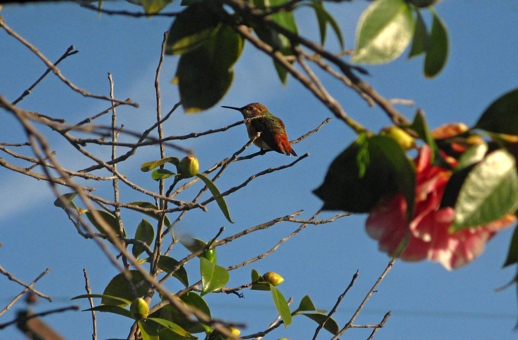 Anna's Hummingbird In Camellia Tree