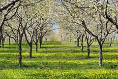 Cherry Orchard in Old Mission Peninsula , Traverse City , Michigan by Michigan Nut