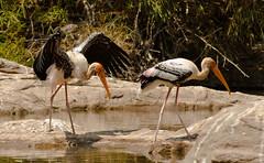 stork(0.0), marabou stork(0.0), animal(1.0), fauna(1.0), ciconiiformes(1.0), shorebird(1.0), beak(1.0), ibis(1.0), bird(1.0), wildlife(1.0),