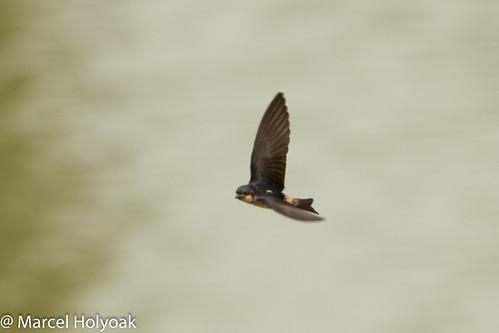 birds swallows cameroon littoral sanagariver cameroonpreusssswallow preussscliffswallow swallowsandmartinspetrochelidonpreussi