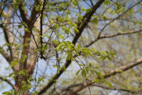 New Elm Leaves