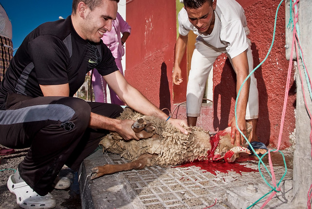 Smiling and happy Muslims slaughtering a fully conscious sheep on Eid