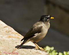 house sparrow(0.0), brambling(0.0), wildlife(0.0), animal(1.0), sparrow(1.0), fauna(1.0), finch(1.0), common myna(1.0), close-up(1.0), emberizidae(1.0), beak(1.0), bird(1.0),