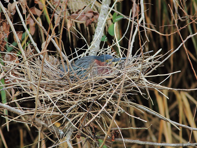Green Heron incubating Nest 4HT 20120410