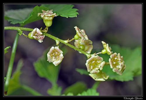 Fleur de groseiller (Ribes rubrum)
