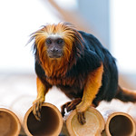 Lion head tamarin on the bamboo roof